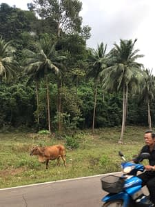 Cow on the roadside, under the palms, with a motorbike speeding along the road, Thailand