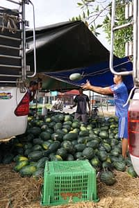 Farmers loading their watermelon crop for market, Thailand