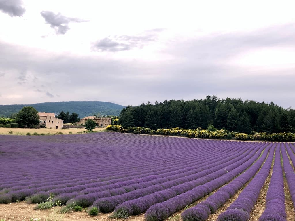 View of a field of flowering lavender growing in neat rows in Provence, France